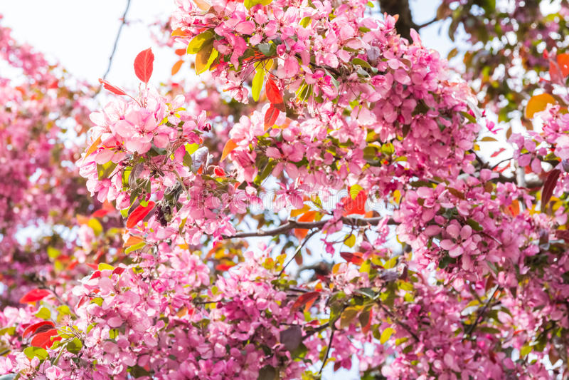 Το ανοιχτό ροζ ημέρας ανθίζει τον ανθίζοντας ζωηρόχρωμο ήλιο Fla Απριλίου ανοίξεων στοκ φωτογραφία