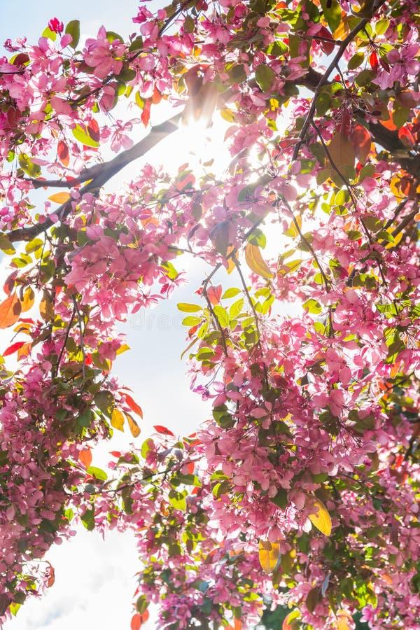 Το ανοιχτό ροζ ημέρας ανθίζει τον ανθίζοντας ζωηρόχρωμο ήλιο Fla Απριλίου ανοίξεων στοκ εικόνα με δικαίωμα ελεύθερης χρήσης