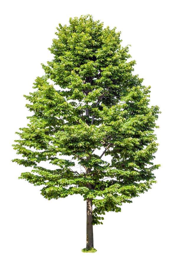 Το αποβαλλόμενο δέντρο απομονωμένος στο λευκό στοκ εικόνα