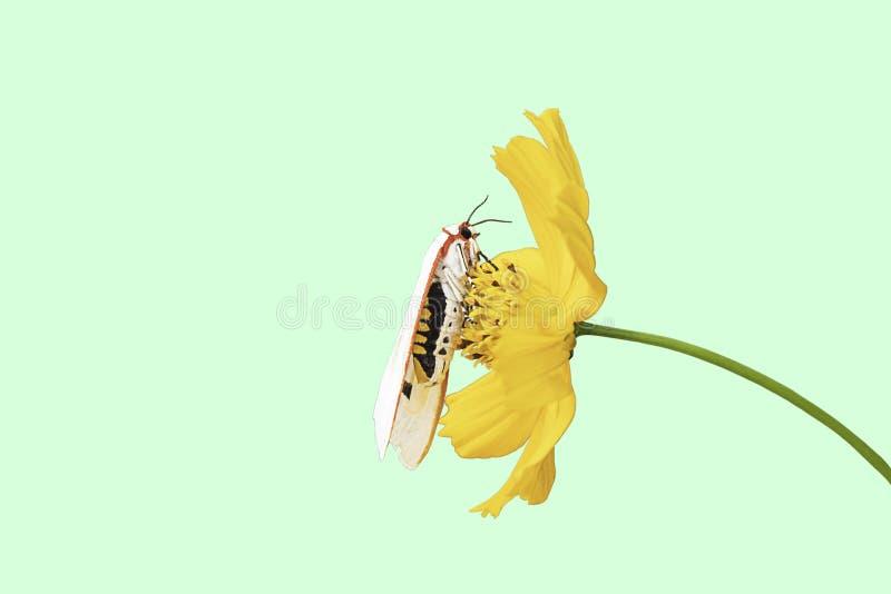 Το απομονωμένο άσπρο έντομο στο κίτρινο sulphureus Cav κόσμου ανθίζει σε ένα πράσινο υπόβαθρο με το ψαλίδισμα της πορείας στοκ εικόνες με δικαίωμα ελεύθερης χρήσης