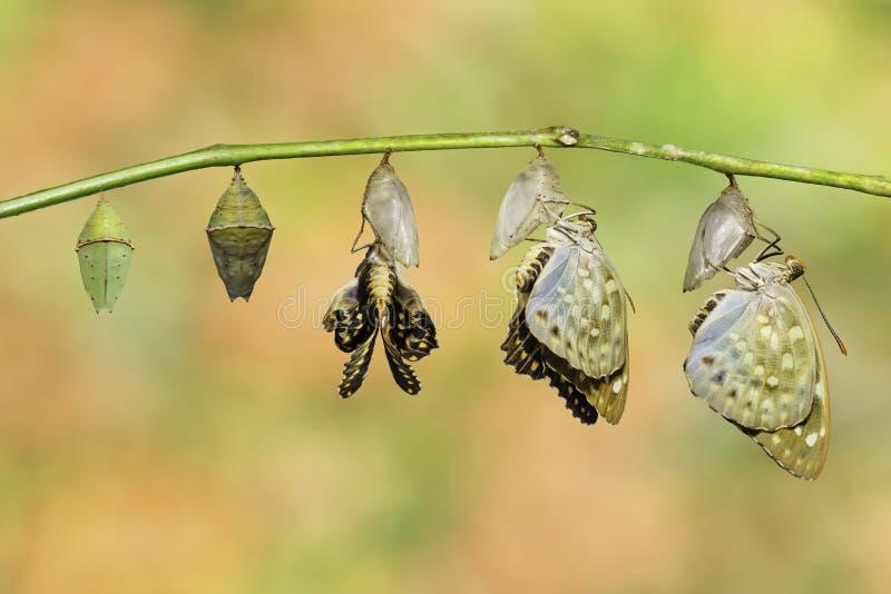 Το απομονωμένο κοινό buttterfly αρχιδουκών προέκυψε από τη χρυσαλίδα Lex στοκ εικόνα με δικαίωμα ελεύθερης χρήσης
