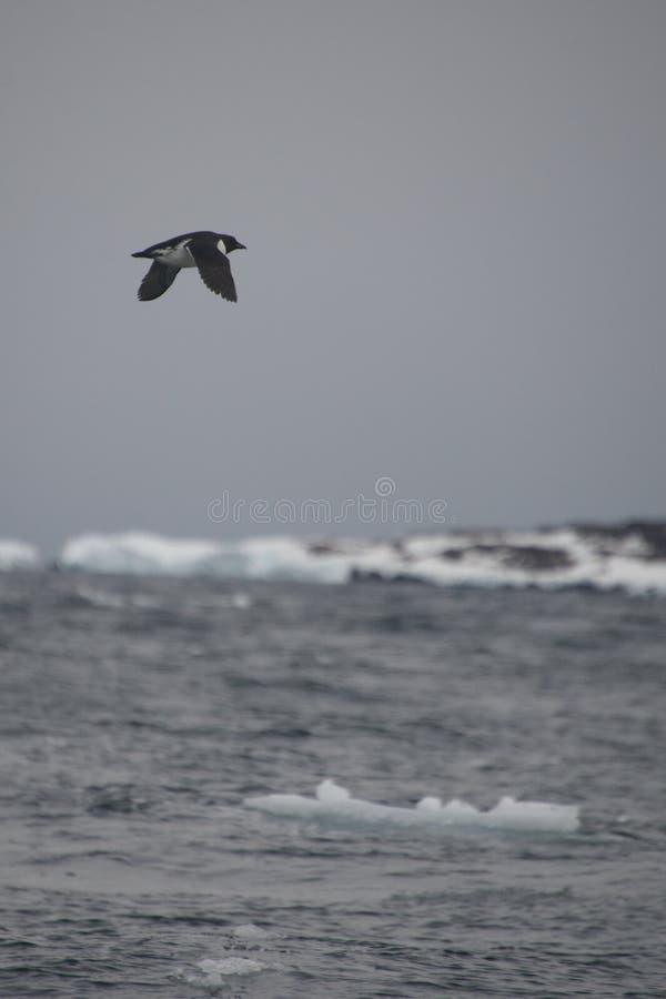 Το απομονωμένο guillemot πετά στα ύψη επάνω από το παγόβουνο στην Αρκτική στοκ φωτογραφία με δικαίωμα ελεύθερης χρήσης