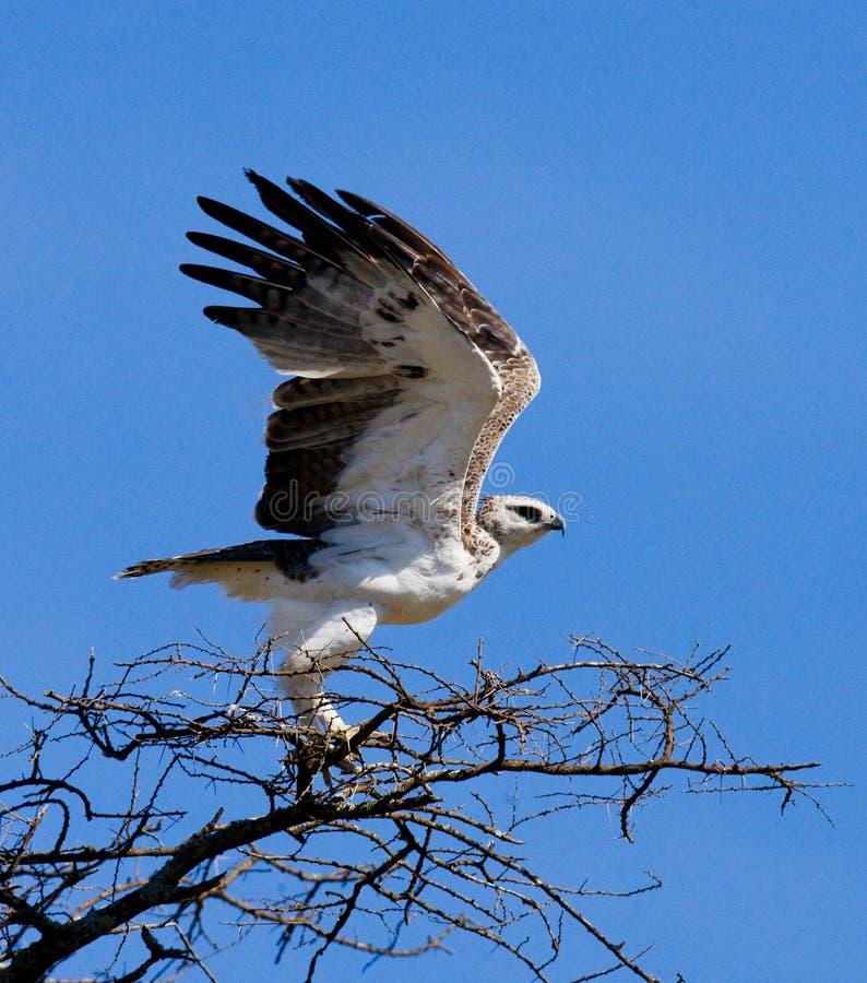 Το αρπακτικό πουλί κάθεται σε ένα δέντρο Κένυα Τανζανία στοκ εικόνα