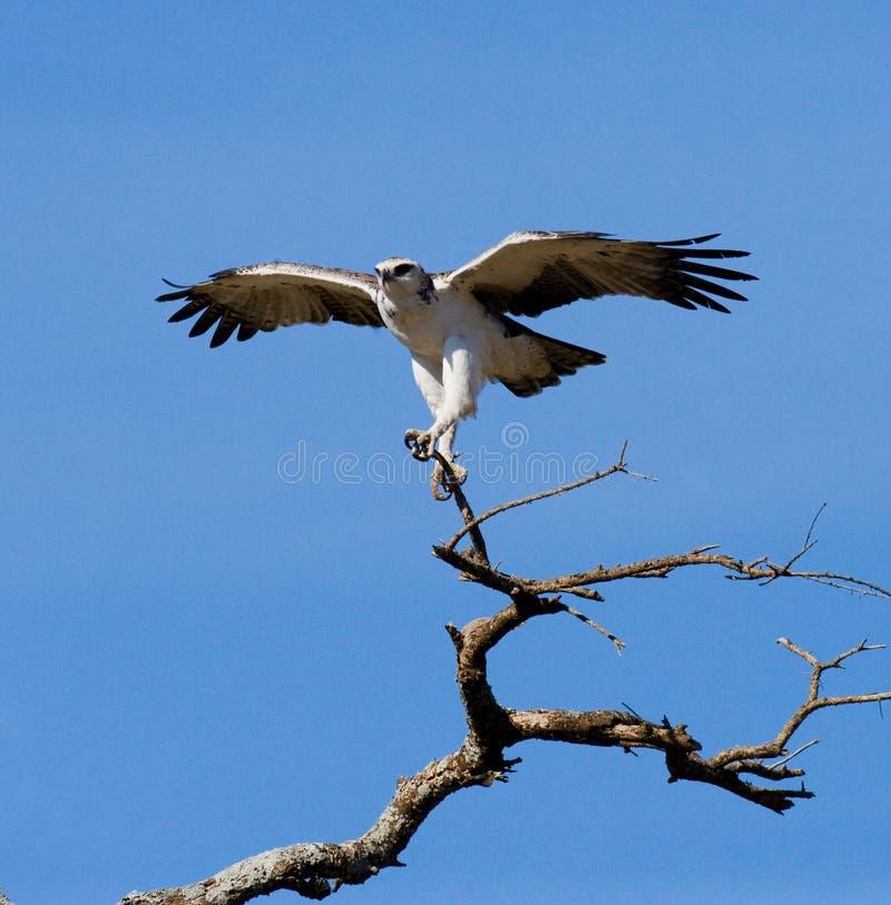 Το αρπακτικό πουλί κάθεται σε ένα δέντρο Κένυα Τανζανία στοκ εικόνες με δικαίωμα ελεύθερης χρήσης