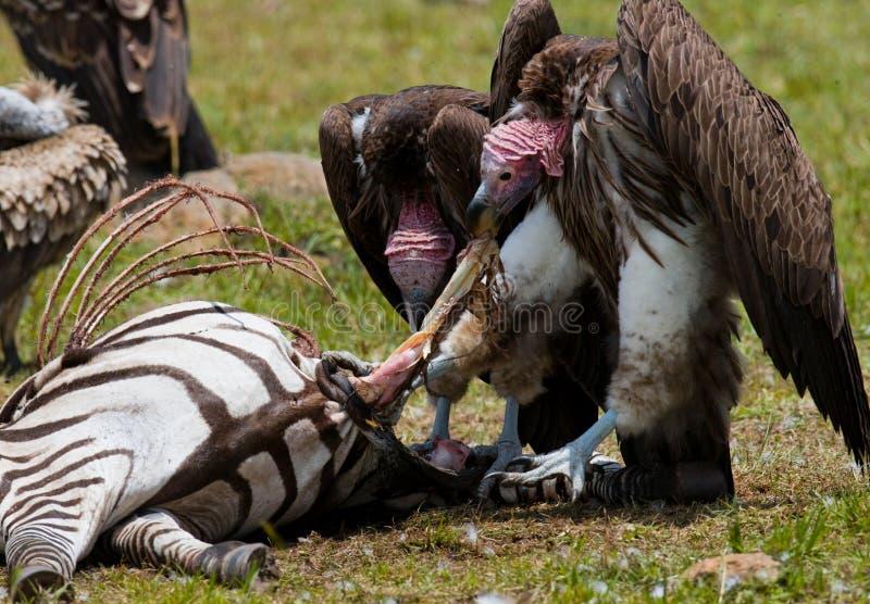 Το αρπακτικό πουλί τρώει το θήραμα στη σαβάνα Κένυα Τανζανία στοκ εικόνες