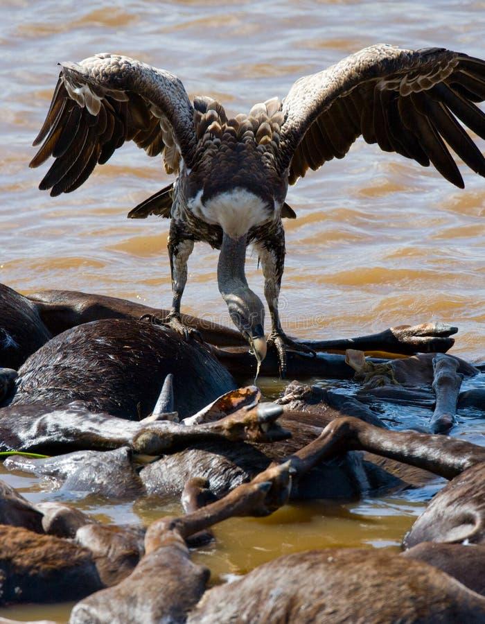 Το αρπακτικό πουλί τρώει το θήραμα στη σαβάνα Κένυα Τανζανία στοκ εικόνες με δικαίωμα ελεύθερης χρήσης