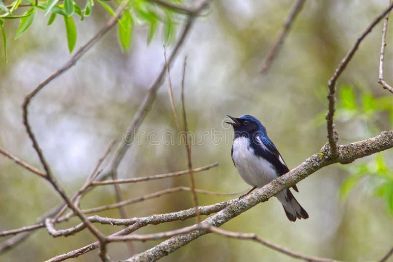 Το αρσενικό μαύρος-η μπλε συλβία Setophaga caerulescens τραγουδώντας στοκ εικόνα