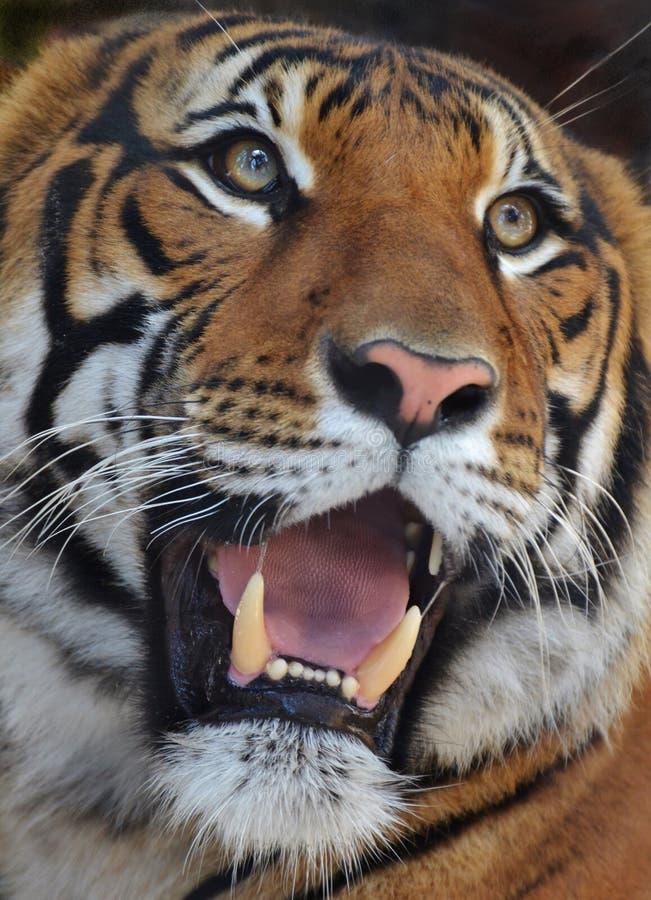 το αρσενικό σχεδιάγραμμα πορτρέτου κοιτάζει επίμονα την τίγρη εσείς στοκ εικόνες