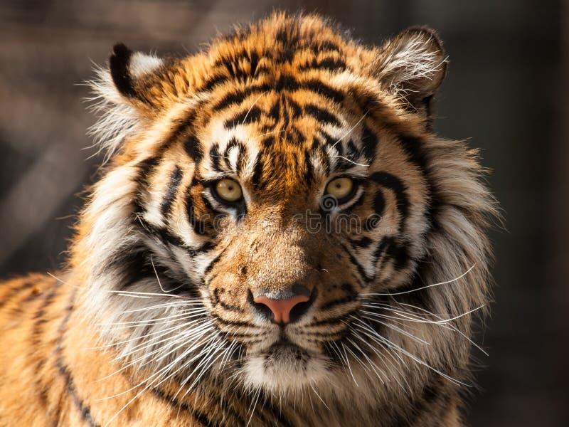 το αρσενικό σχεδιάγραμμα πορτρέτου κοιτάζει επίμονα την τίγρη εσείς στοκ εικόνα με δικαίωμα ελεύθερης χρήσης