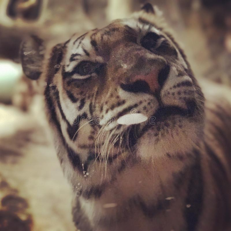 το αρσενικό σχεδιάγραμμα πορτρέτου κοιτάζει επίμονα την τίγρη εσείς στοκ φωτογραφίες με δικαίωμα ελεύθερης χρήσης