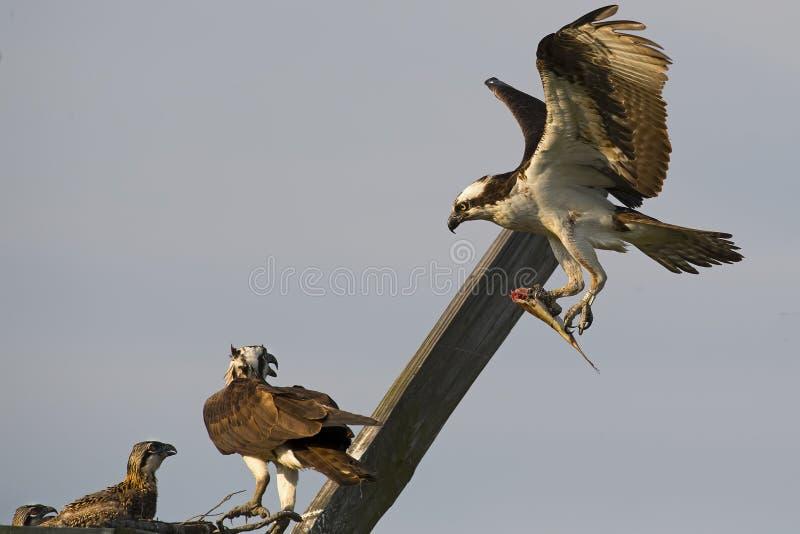 Το αρσενικό Osprey φέρνει τα ψάρια για να τοποθετηθεί ενώ το θηλυκό και ο νεοσσός κοιτάζουν επάνω στοκ φωτογραφία