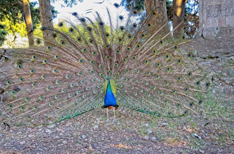 Το αρσενικό peafowl ή peacock επιδεικνύοντας επενδύει με φτερά γύρω από την πέτρα τους ναούς στην ακρόπολη Ialysos στοκ εικόνες με δικαίωμα ελεύθερης χρήσης