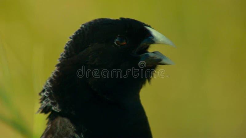 Το αρσενικό widowbirds του Τζάκσον θέλει έναν σύντροφο με το άλμα για να εντυπωσιάσει τις κυρίες, σαβάνα, Αφρική στοκ εικόνες