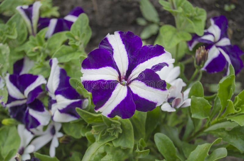 Το αστέρι διαμόρφωσε την πορφυρή πετούνια στον κήπο στοκ εικόνες