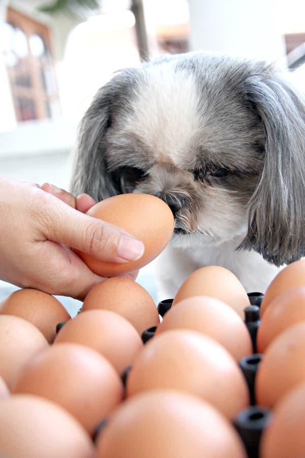 Το αυγό προσοχής σκυλιών. στοκ εικόνα με δικαίωμα ελεύθερης χρήσης