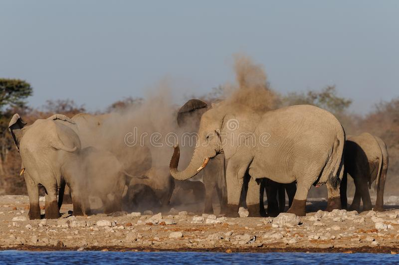 Το αφρικανικό κοπάδι ελεφάντων κάνει ένα λουτρό σκόνης, etosha nationalpark στοκ εικόνες με δικαίωμα ελεύθερης χρήσης