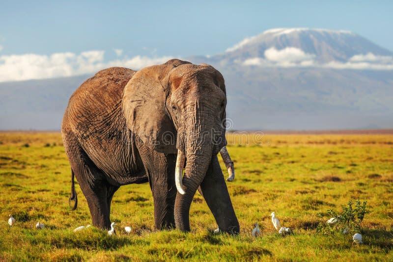 Το αφρικανικό africana Loxodonta ελεφάντων θάμνων στη χαμηλή χλόη, άσπρα πουλιά ερωδιών στα πόδια, τοποθετεί Kilimanjaro στο υπόβ στοκ εικόνες