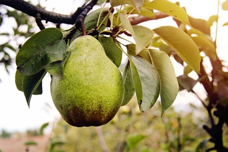Το αχλάδι του William στον κλάδο δέντρων με βγάζει φύλλα στοκ φωτογραφία
