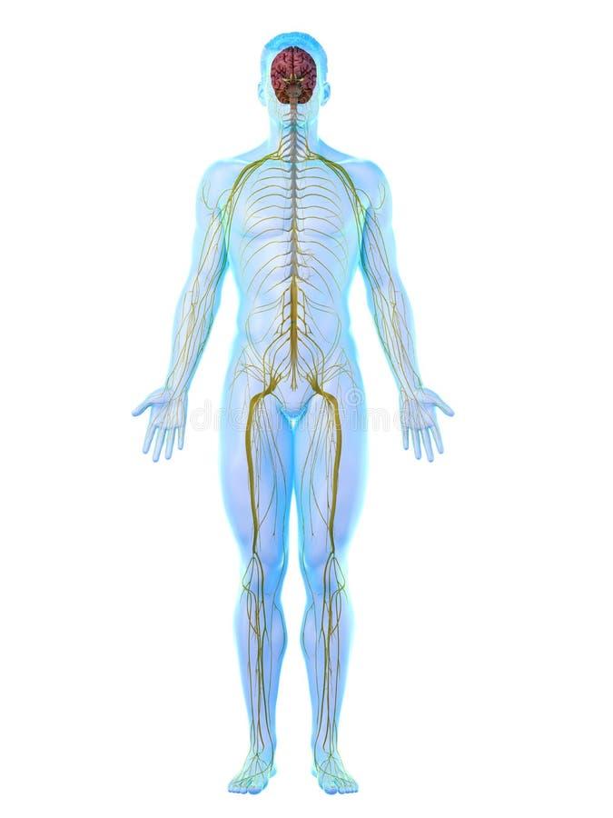 Το Α επανδρώνει το νευρικό σύστημα διανυσματική απεικόνιση