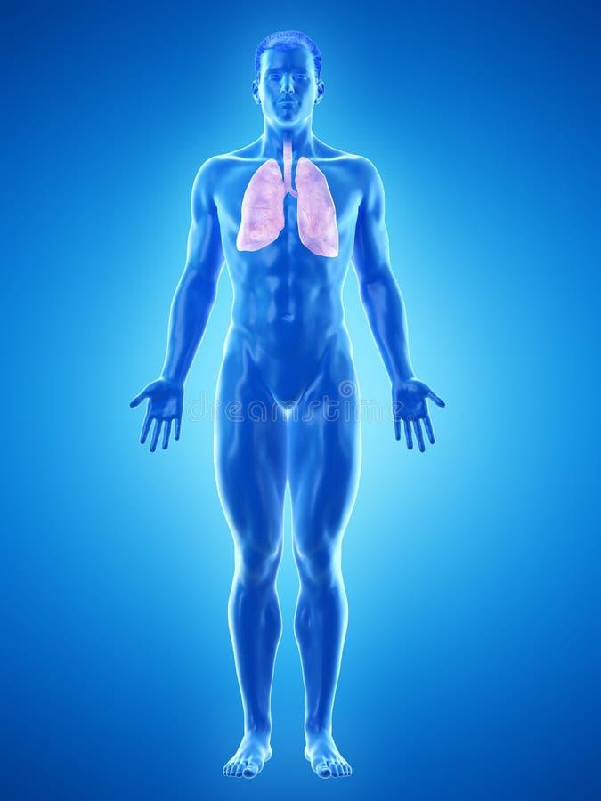 Το Α επανδρώνει το στομάχι απεικόνιση αποθεμάτων
