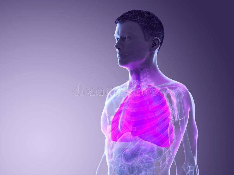 το α επανδρώνει τους πνεύμονες στοκ εικόνα με δικαίωμα ελεύθερης χρήσης
