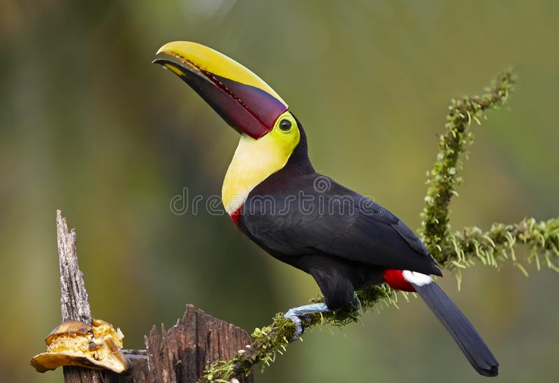 Το Α μαύρος-toucan ή κίτρινος-toucan που εσκαρφάλωσε στον κλάδο στη Κόστα Ρίκα στοκ εικόνα με δικαίωμα ελεύθερης χρήσης