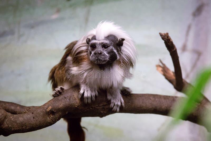 Το βαμβάκι-τοπ oedipus Saguinus tamarin είναι ένας μικρός νέος παγκόσμιος πίθηκος στοκ εικόνα με δικαίωμα ελεύθερης χρήσης