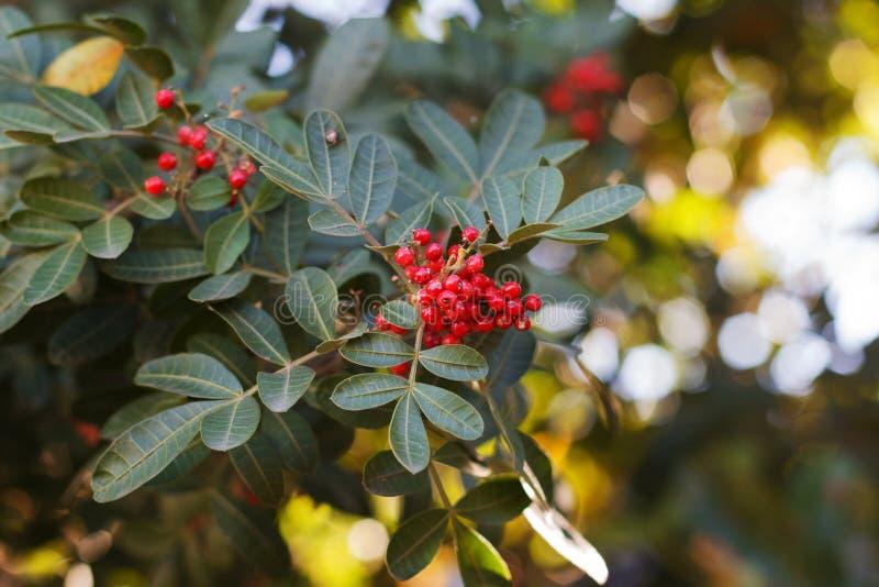 Το βραζιλιάνο πιπέρι, aroeira, αυξήθηκε πιπέρι, δέντρο Christmasberry στοκ φωτογραφία με δικαίωμα ελεύθερης χρήσης