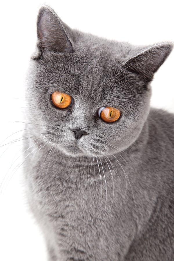 το βρετανικό γκρι γατών απ&o στοκ φωτογραφίες