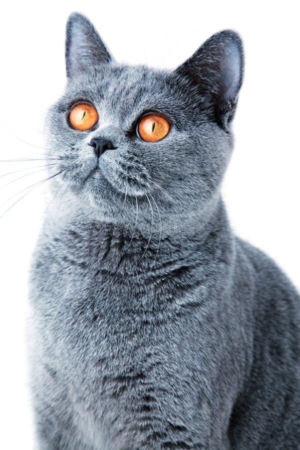 το βρετανικό γκρι γατών απ&o στοκ εικόνα με δικαίωμα ελεύθερης χρήσης
