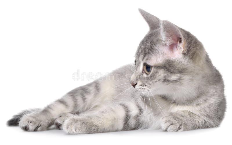 Το βρετανικό τιγρέ γατάκι shorthair βάζει απομονωμένος στοκ εικόνες