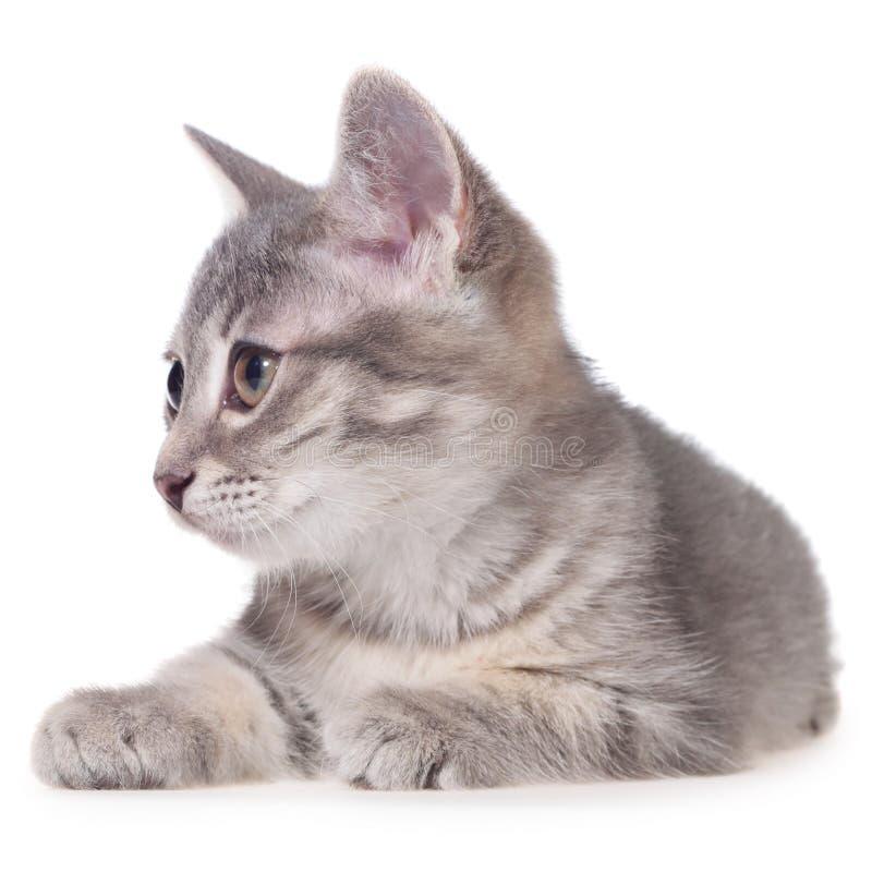 Το βρετανικό τιγρέ γατάκι shorthair βάζει απομονωμένος στοκ εικόνα