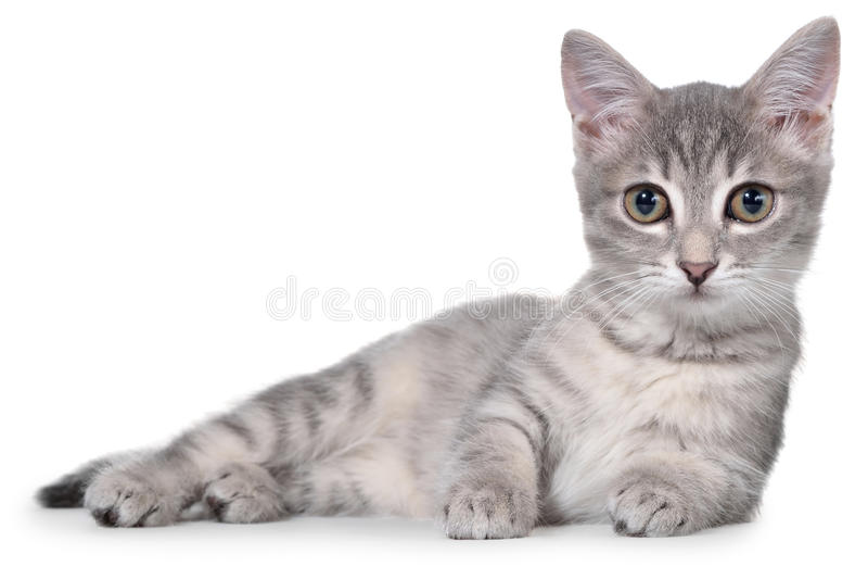 Το βρετανικό τιγρέ γατάκι shorthair βρέθηκε στοκ φωτογραφία με δικαίωμα ελεύθερης χρήσης