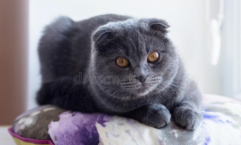 Το βρετανικό Shorthair το γατάκι στοκ φωτογραφίες με δικαίωμα ελεύθερης χρήσης