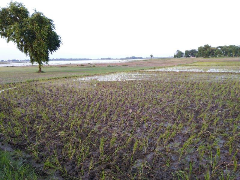 Το βροχερό ρύζι συγκομιδών νερού πλημμύρας ziri καλλιέργειας γεωργίας Dhaan φυτεύει την ινδική βοτανική δέντρων Bharat τομέων δέν στοκ εικόνα