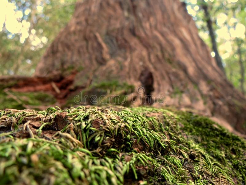 Το βρύο αυξάνεται στη βάση ενός παλαιού δέντρου στοκ εικόνες