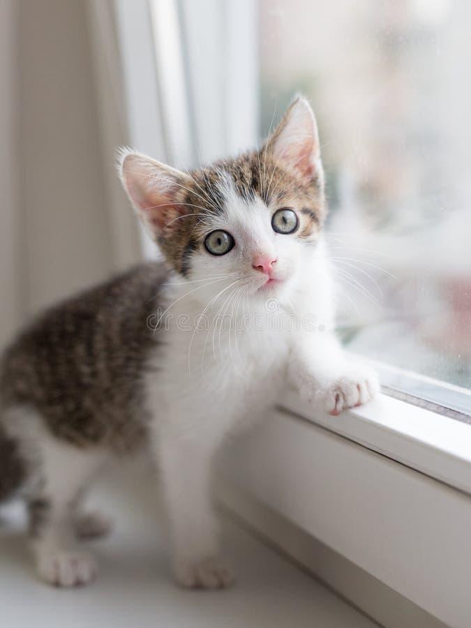 Το γατάκι κάθεται κοντά στο παράθυρο και εξετάζει τη κάμερα στοκ εικόνες