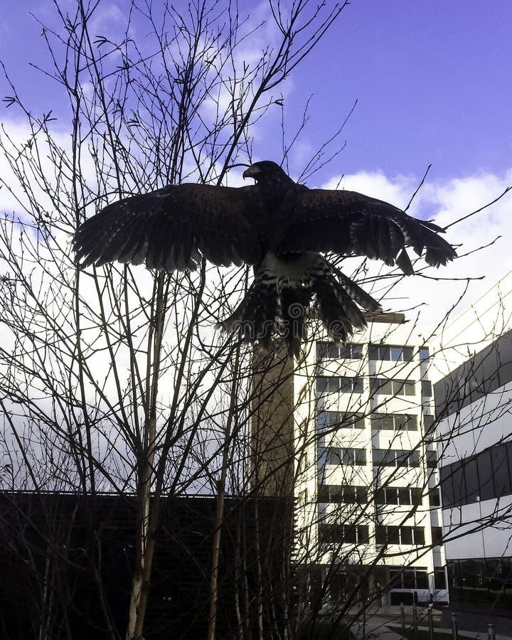 Το γεράκι Harris ` s γνωστό στο παρελθόν ως κόλπος-φτερωτό γεράκι ή σκοτεινό γεράκι στοκ φωτογραφίες