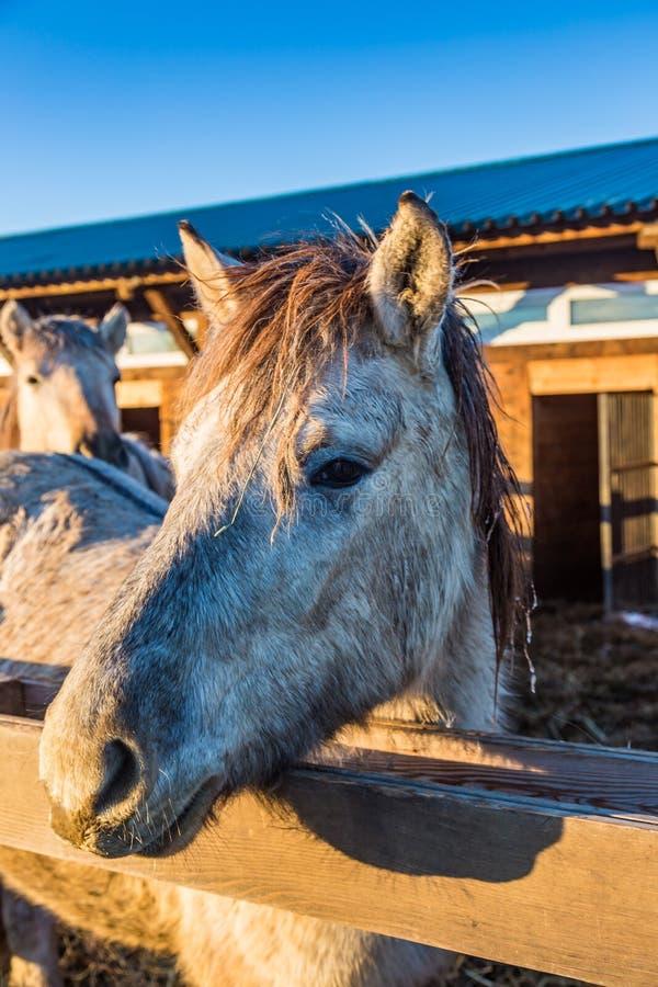 Το γκρίζο άλογο κοιτάζει δυστυχώς έξω από πίσω από έναν φράκτη, Altai, Ρωσία στοκ εικόνες με δικαίωμα ελεύθερης χρήσης