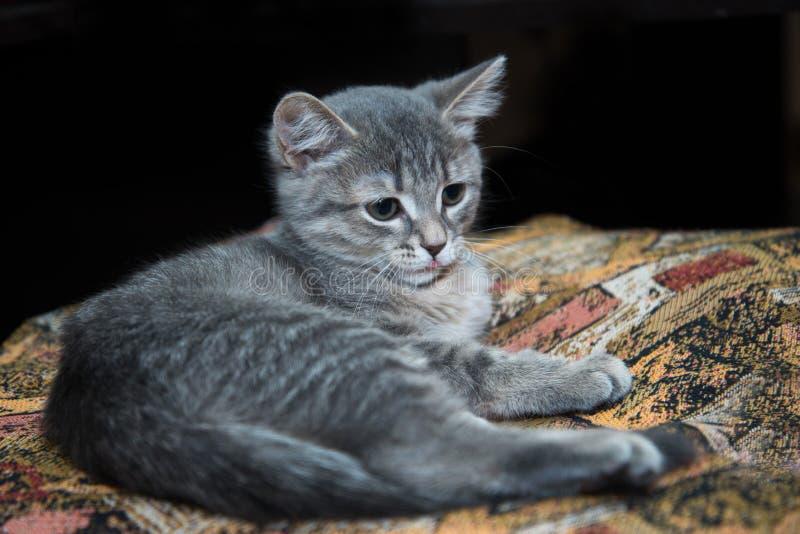 το γκρίζο γατάκι βρίσκεται στοκ εικόνες