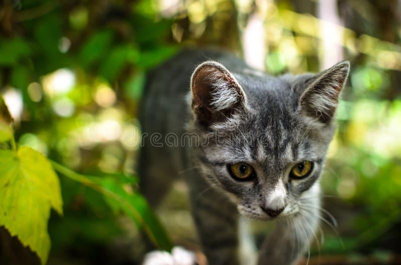 Το γκρίζο γατάκι γλιστρά μεταξύ των αλσυλλίων όπως μια άγρια γάτα στοκ εικόνα με δικαίωμα ελεύθερης χρήσης