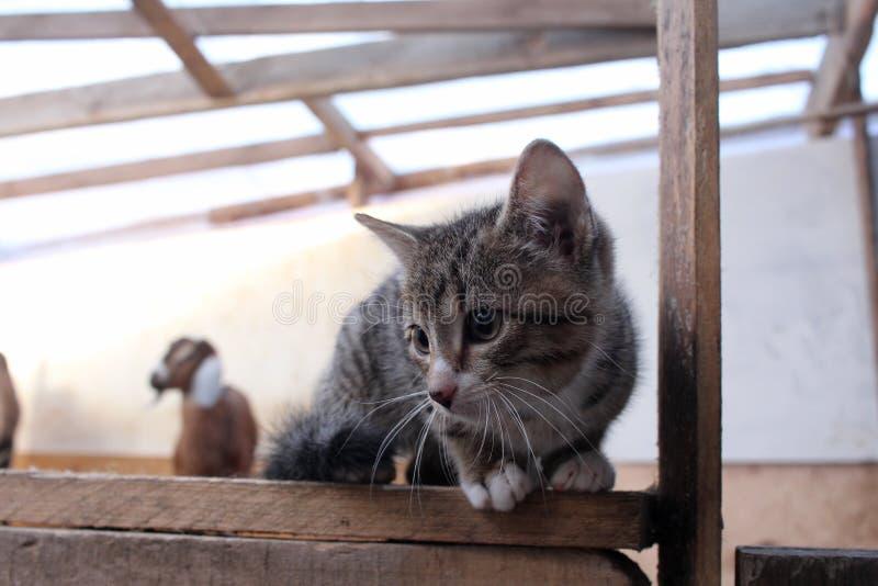 Το γκρίζο γατάκι που κάθεται επάνω συγκεντρώνει με τις αίγες στο αγρόκτημα στοκ φωτογραφία