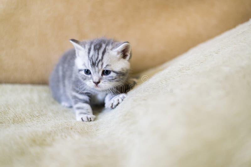 Το γκρίζο γατάκι της φυλής σκωτσέζικα βρίσκεται στον καναπέ στοκ εικόνα με δικαίωμα ελεύθερης χρήσης