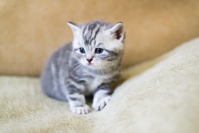 Το γκρίζο γατάκι της φυλής σκωτσέζικα βρίσκεται στον καναπέ στοκ φωτογραφία με δικαίωμα ελεύθερης χρήσης