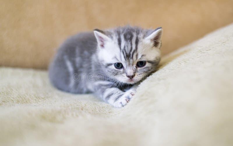 Το γκρίζο γατάκι της φυλής σκωτσέζικα βρίσκεται στον καναπέ στοκ φωτογραφίες με δικαίωμα ελεύθερης χρήσης
