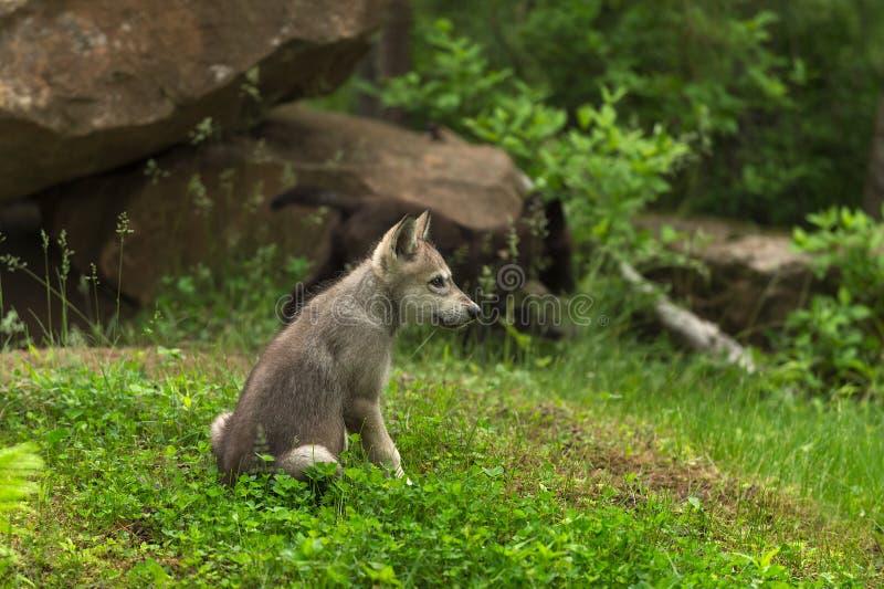 Το γκρίζο κουτάβι Λύκου Canis λύκων κάθεται κοντά στο κρησφύγετο στοκ φωτογραφίες