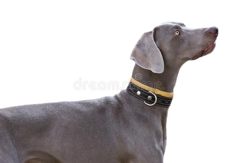 το γκρι σκυλιών απομόνωσ&ep στοκ εικόνα