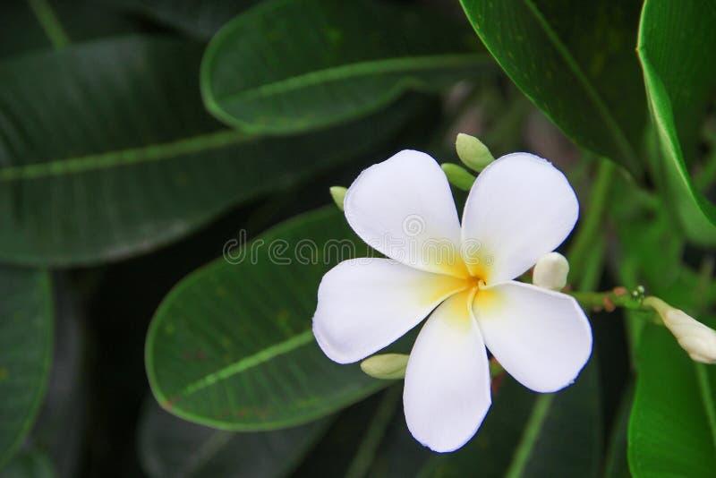 Το γλυκοί άσπροι frangipani και ο οφθαλμός άνθισης rubra plumeria ανθίζουν στον κήπο στο υπόβαθρο φύλλων στοκ φωτογραφία με δικαίωμα ελεύθερης χρήσης