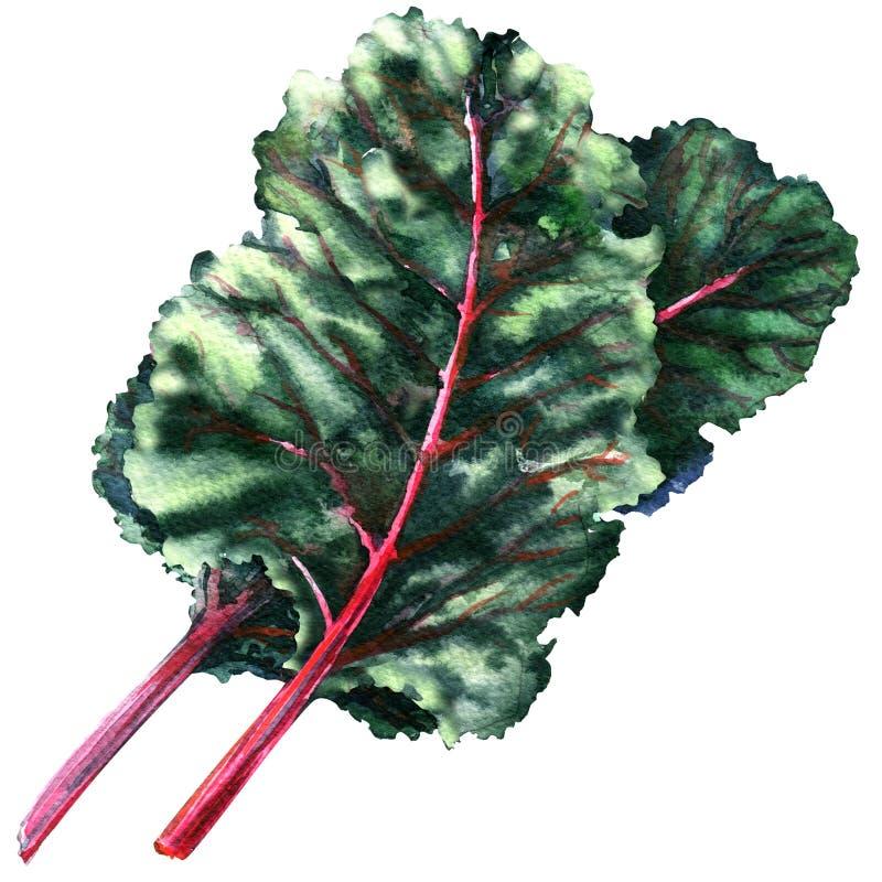 Το γλυκό πράσινο τεύτλο βγάζει φύλλα, τεύτλο, chard, που απομονώνεται, απεικόνιση watercolor διανυσματική απεικόνιση