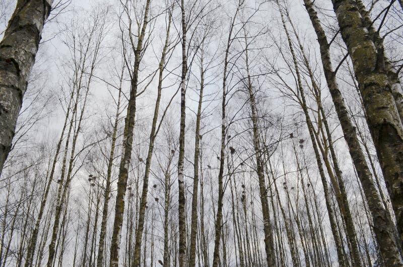 Το δάσος άνοιξη με το πουλί τοποθετείται, κορμοί των δέντρων ενάντια στον ουρανό, να τοποθετηθεί άνοιξη των πουλιών στοκ φωτογραφία με δικαίωμα ελεύθερης χρήσης